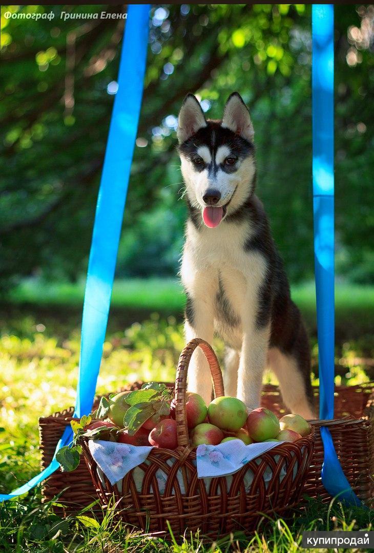 Девочка сибирский хаски 3.5 месяцев