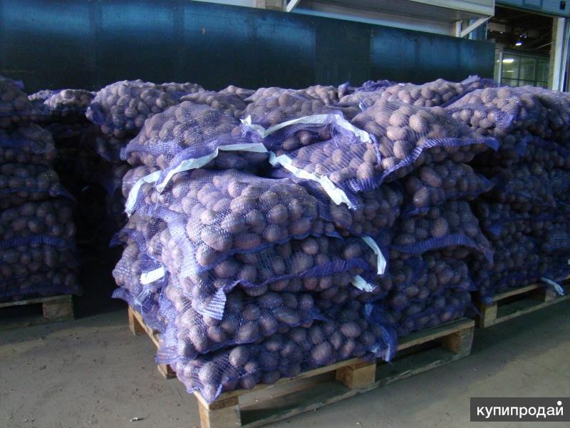 Картофель оптом от 20 тонн (КФХ Брянской обл.)
