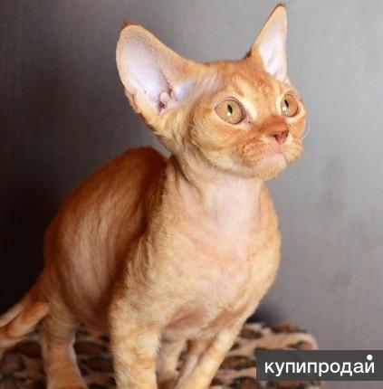 Котик Девон рекс
