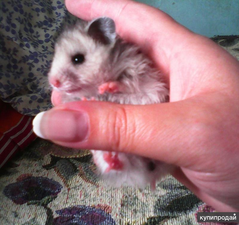 Милые ручные хомячки!