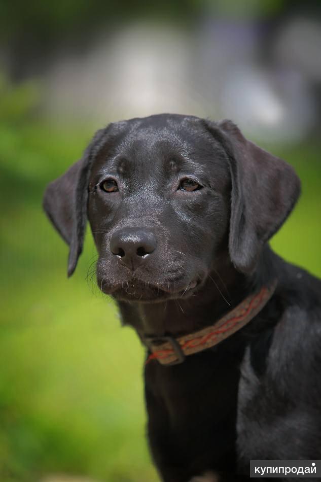 Шоколадные и чёрные щенки лабрадор ретривер очень ждут любящих хозяев! Недорого!