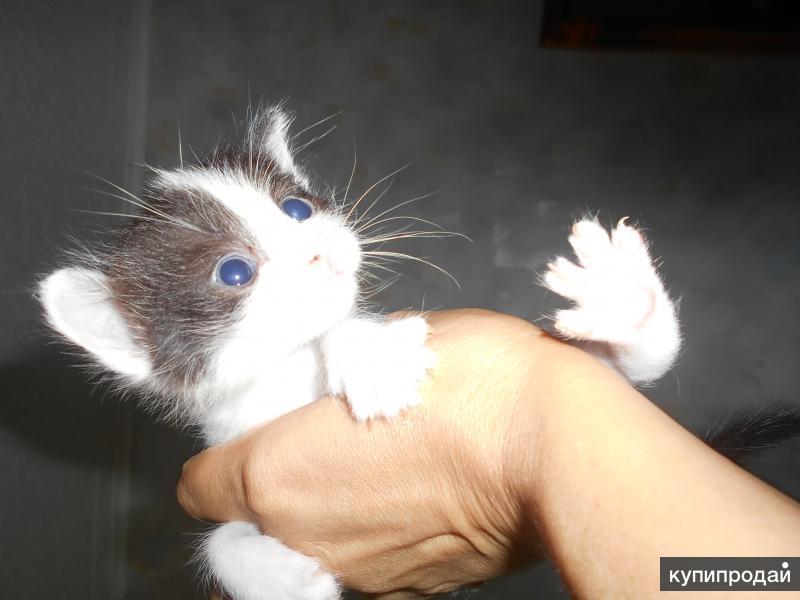 котята оригинальной расцветки с голубыми глазами