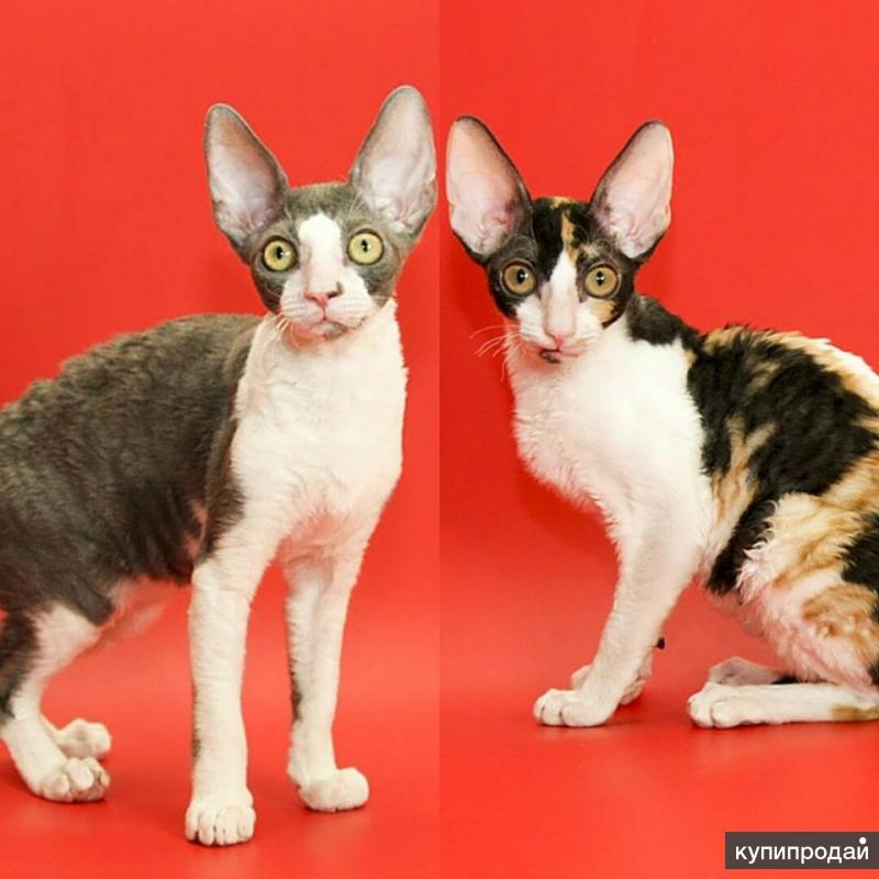 Корниш-рекс котята - нарядные ушастики