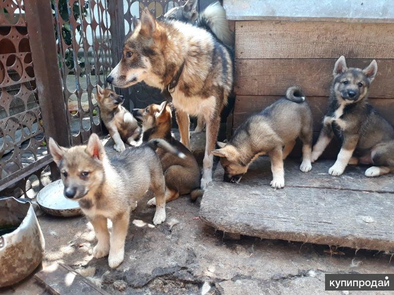 Продажа щенков Лайки от рабочих собак