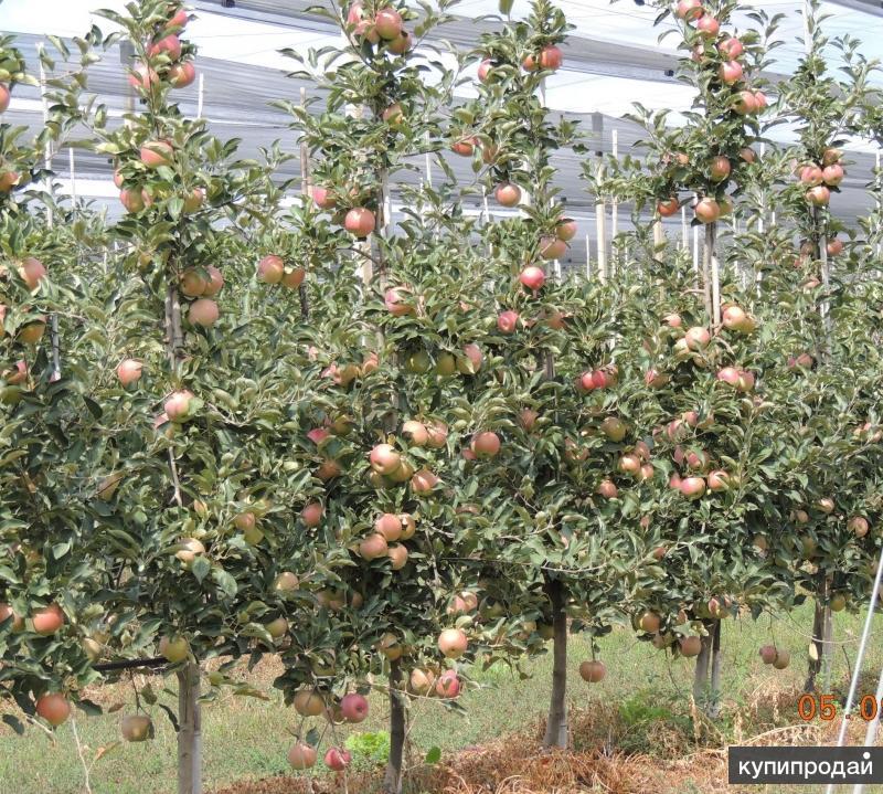 Яблоки Гала 65+ оптом от КФХ