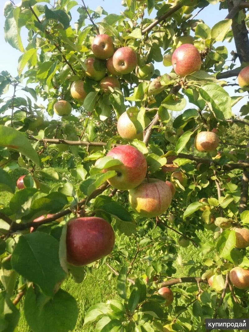 Яблоки оптом 55-90+ от собственника 33 руб/кг