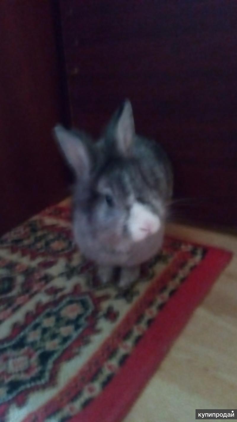 Дикоротивный кролик