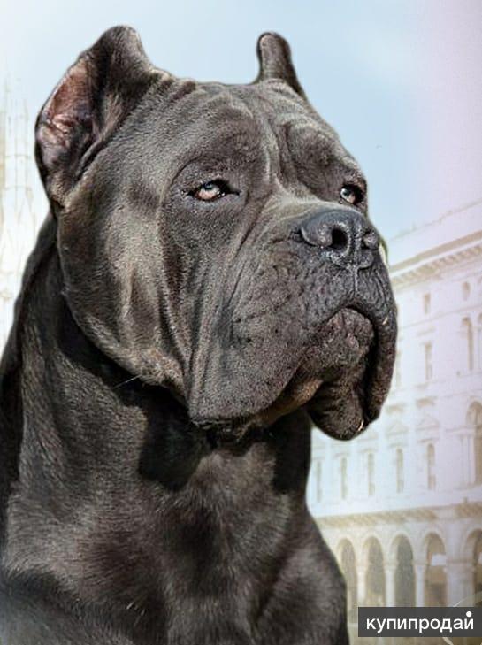 купить фото собак кане корсо серого цвета обнаружения всех именных