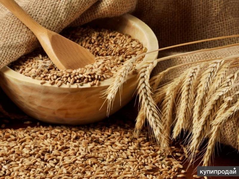 Семена озимой пшеницы, ячменя и тритикале урожая