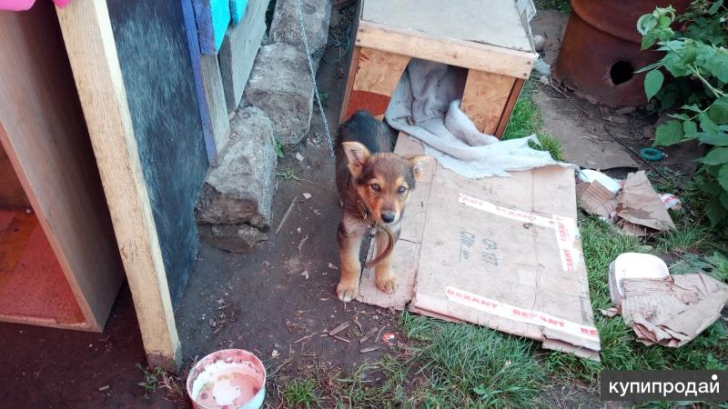 Отдам щенка дворовой собаки-охранника двора и дома. К цепи и будке приучен.