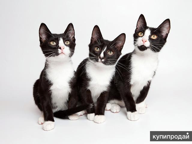 Маленькие лорды, очаровательные домашние котята-мальчики в добрые руки