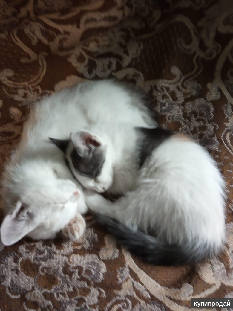 Две трёхцветные кошечки. 2 месяца.