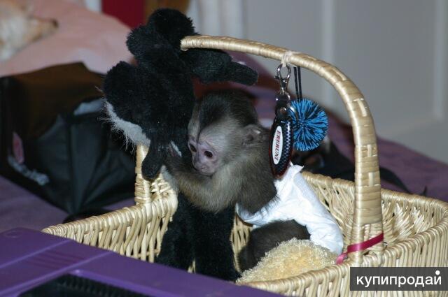 чиста мавпа капуцин порода для гарного будинку