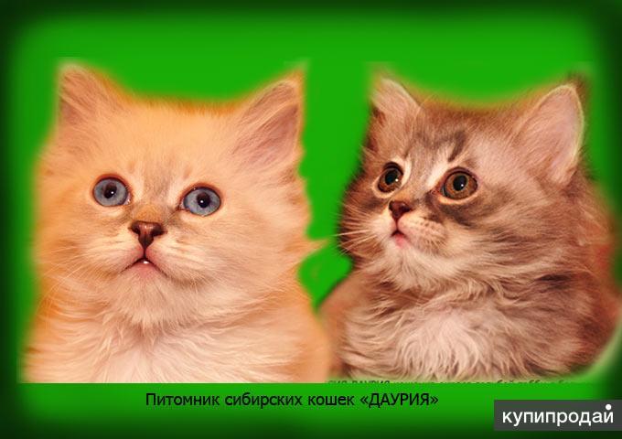 Сибирские элитные котята