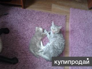 продаются котята.