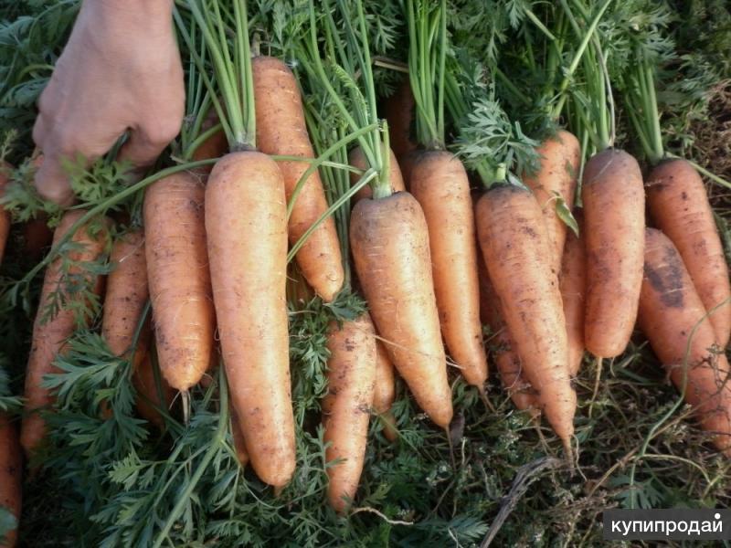 Морковь,свекла столовая оптом