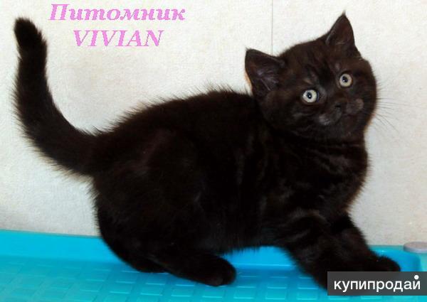 Чернобурка британские котята из питомника.