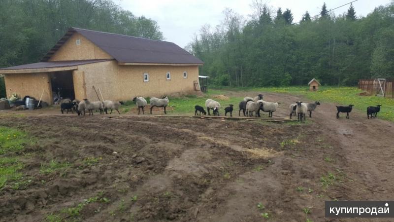 Овцы и баранина.