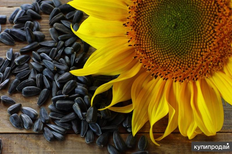 Гибриды семена подсолнечника МЕГАСАН, ТУНКА, ЛГ 5550 (ЛИМАГРЕЙН)