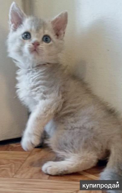 Продам Селкирк-рекс котик.Торг из за срочности