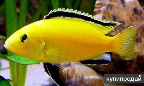 Еллоу желтый (Labidochromis Caeruleus)