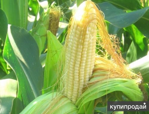 Гибриды семена кукурузы Делитоп, Фалькон, Нерисса от Syngenta
