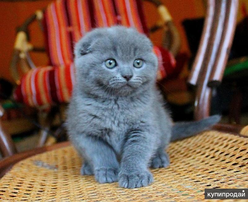 фото котят шотландских веслоухих безмерно счастлив оттого