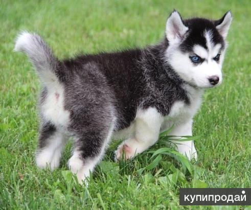 сибирских щенок щенков