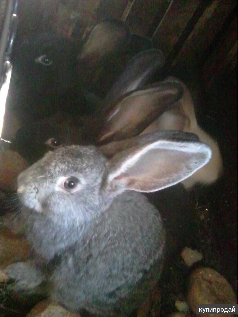Кролики и петухи