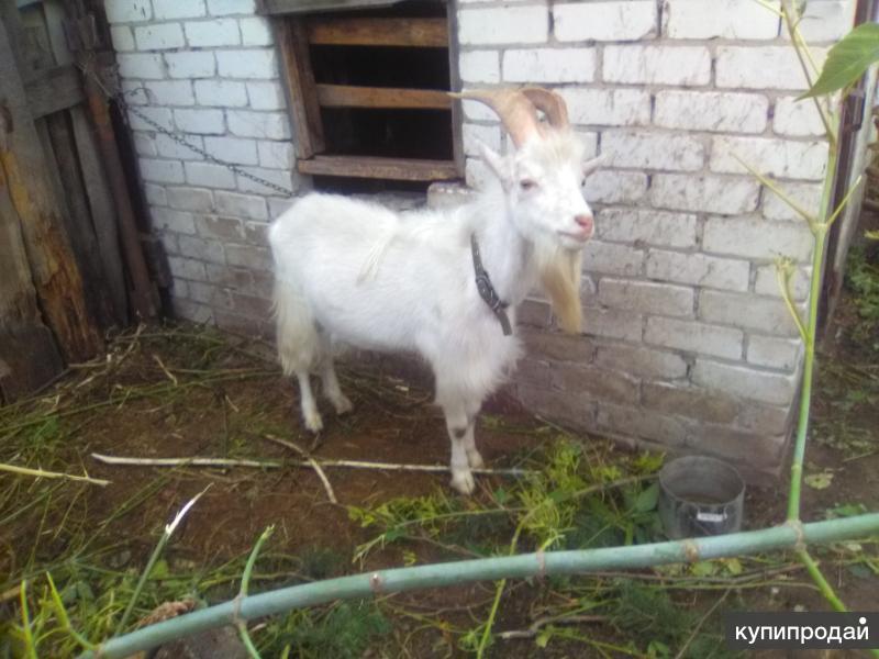 козел Зааненский