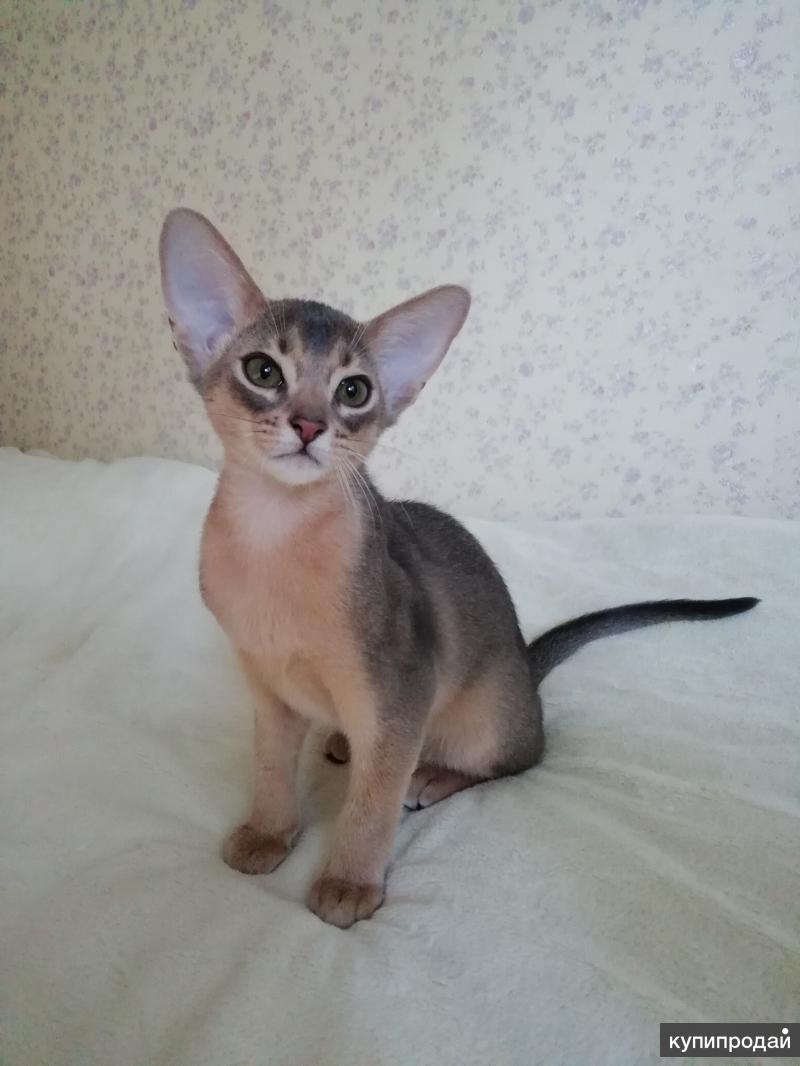 Прекрасный абиссинский котик