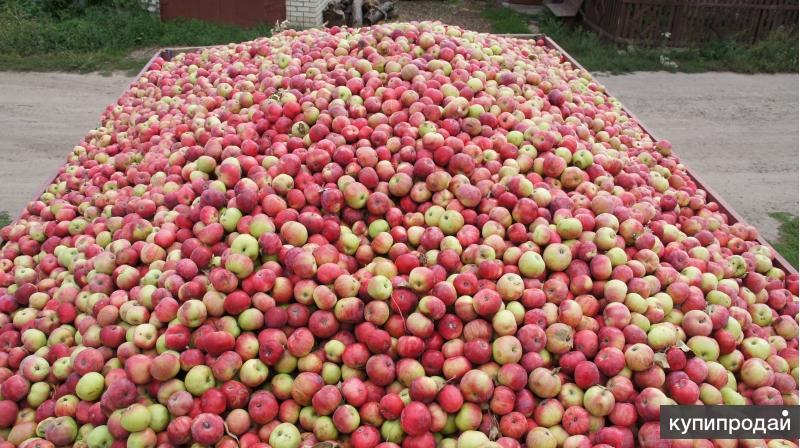 Продаем яблоки на промпереработку