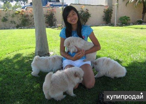 Beautiful Cream Chow Chow Pups Kc Reg