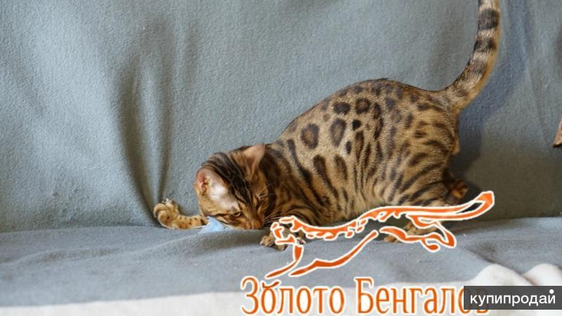 Вязка с Бенгальским котом.