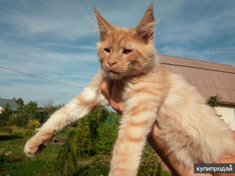 Мейн-кунята - добрые котята