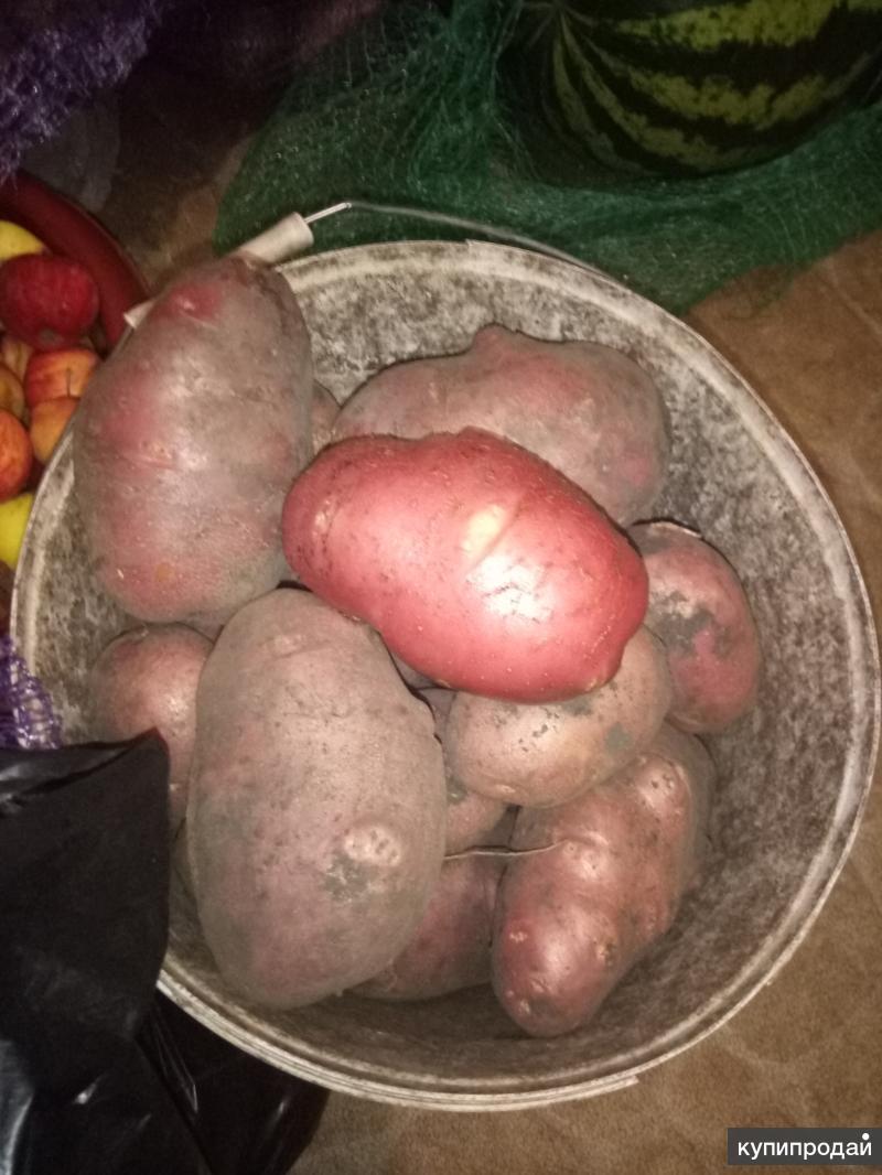 Картошка свежая