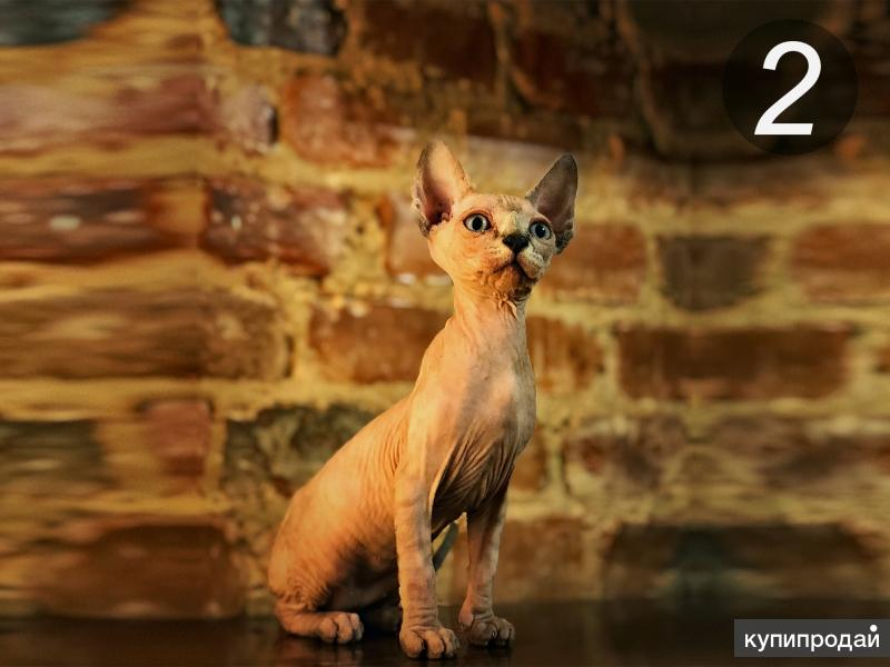 Канадский сфинкс (шесть котят)