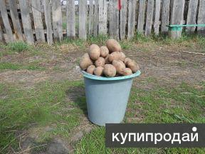 картофель отборный