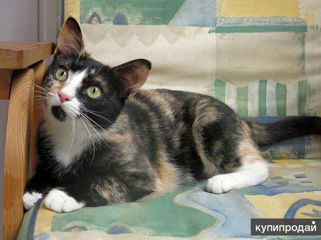 Соня-Совушка, очень ласковая домашняя кошечка-подросток в добрые руки