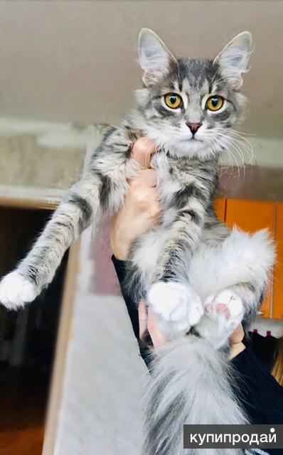 Серо-дымчатое чудо, домашний котенок-подросток Том в добрые руки