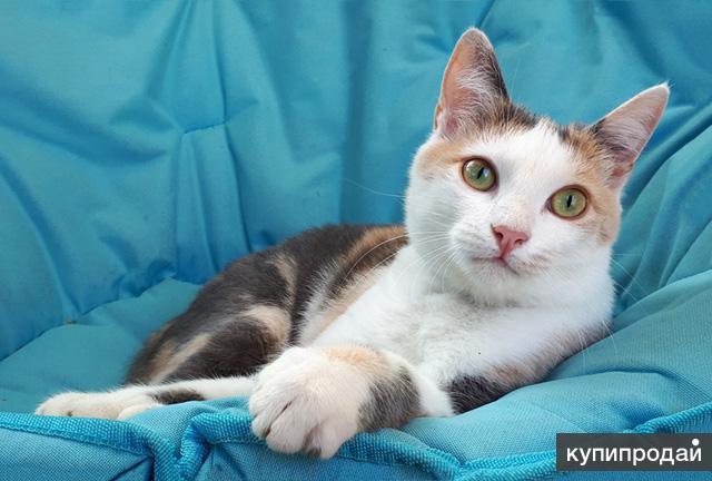 Красавица Эмили, молодая, ласковая трехцветная кошечка в добрые руки