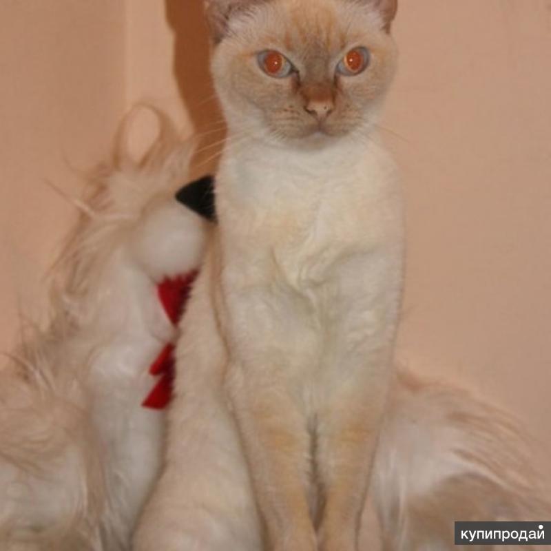 Отдам в хорошие руки лечебную кошку, для детей аутистов, ДЦП, СДВГ
