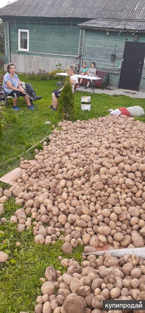 Картофель деревенский со своего огорода без химии