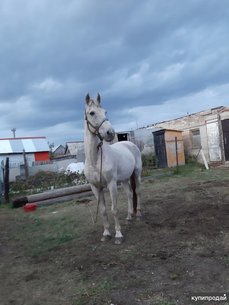 Продаю лошадь -Мерен