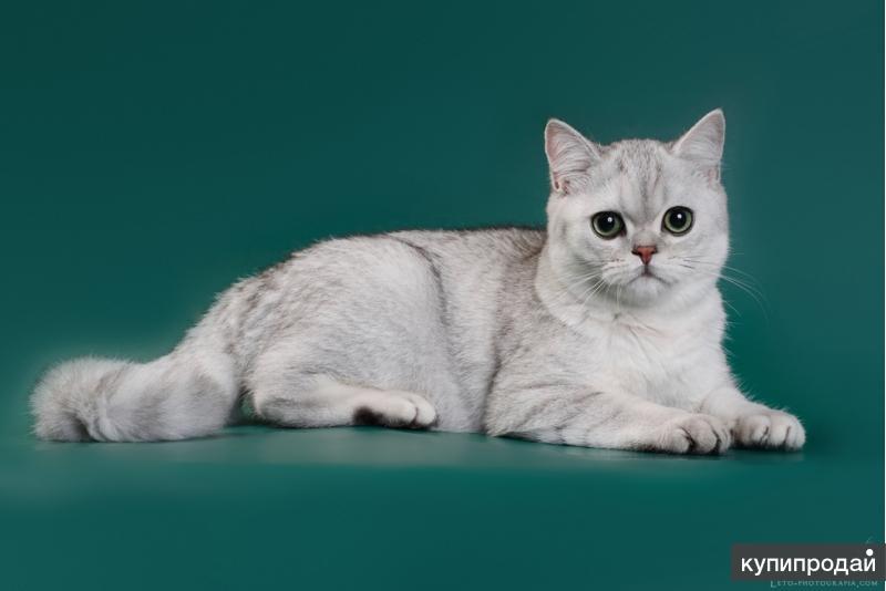 постоянные шотландская прямоухая шиншилла кошка фото тому азуриту