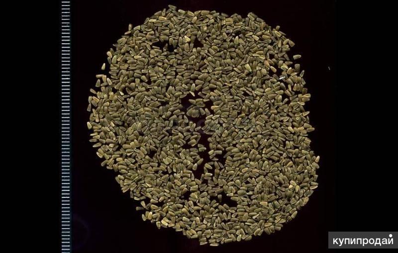 Пустырник семена
