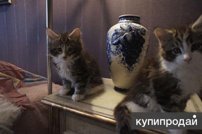 котитки породы мейн-кун