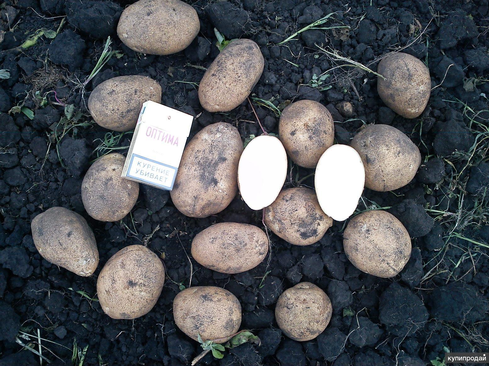 Картофель от производителя за 8 руб.