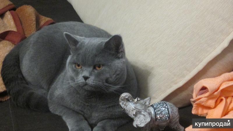 Шикарный британский кот для вязки