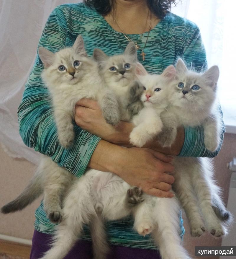 Породистые котята продаются!